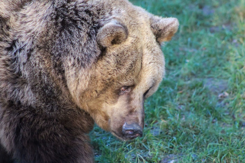 Bear Animal Themes Animal Wildlife Animals In The Wild Brown Bear Close-up Day Grass Mammal Nature No People One Animal Outdoors
