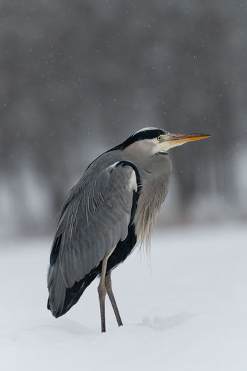 Side view of a bird on snow