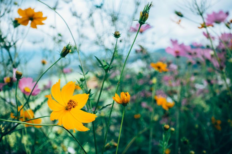 Close-Up Of Yellow Cosmos Flowers Blooming On Field