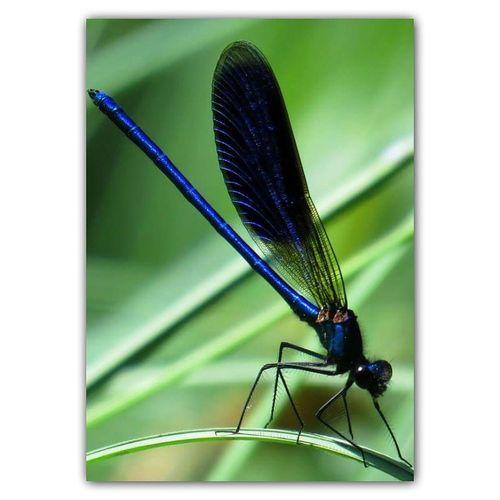 Weidebeekjuffer Dragonfly Libelle