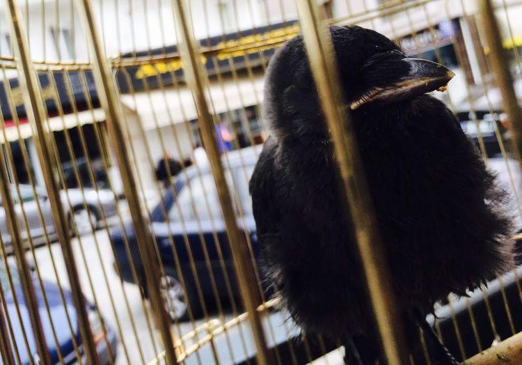 Bird Raven Cage