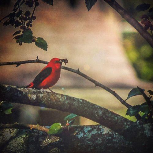 Scarlet Tanager Birds Of EyeEm  Nature Bird Scarlet Tanager