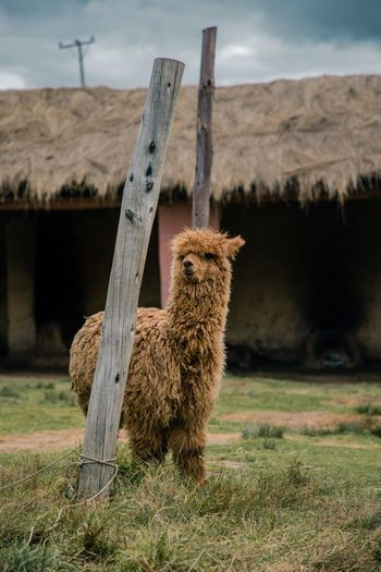 Alpaca standing on grassy field against built structure