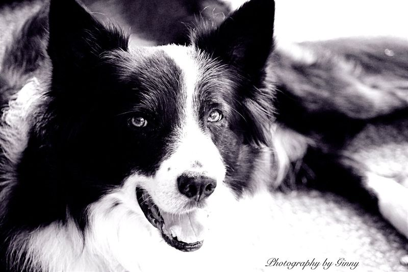 Black & White Border Collie. Smartest Breed there is. Pets Dog One Animal Border Collie Black And White Smart