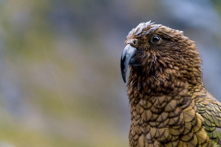 Kea fiordland national park - dont feed the kea - Bird One Animal Animals In The Wild Close-up Animal Wildlife No People Outdoors Nature Raindrops Nature
