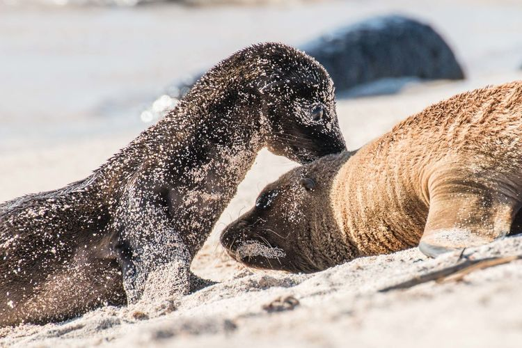 Affection Baby Beauty In Nature Cute Galapagos Love Mother And Child Animals Nursing Outdoors Sea Lion Wildlife