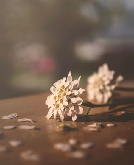 Plant Flower Flowering Plant Fragility Close-up Vulnerability  Selective Focus Sunlight Focus On Foreground Springtime Tree Nature Beauty In Nature No People Growth White Color Freshness Blossom Day Outdoors
