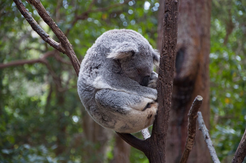 Koala sleeping in the tree