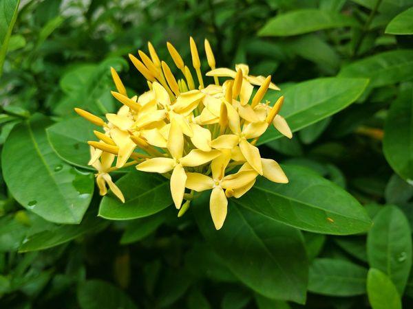 Ixora / Santan Serenity Flower Flower Collection Yellow Flower Santan Flowers Details Of Nature Eyeem Philippines