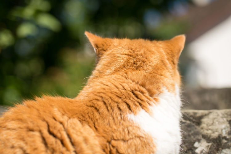 Cat Animal Body Part Animal Themes Back Bye Byebye Close-up Day Domestic Animals Domestic Cat Ginger Cat Mammal No People One Animal Outdoors Pets Tabby Cat
