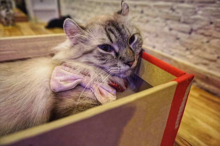 Cat in bow tie lie down in paper box on the wood table Grey Cat Lovely Cute Cat Bow Tie Lie Down Sleepy Paper Box Kitten Domestic Cat Pets Domestic Animals Mammal Animal Themes Indoors  Feline Close-up No People