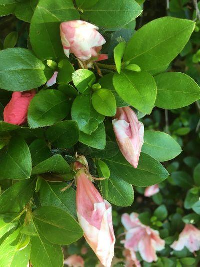 Azalea Azalea Blossoms Beauty In Nature Close-up Flower Flower Bud Flower Head Fragility Freshness Growth Nature
