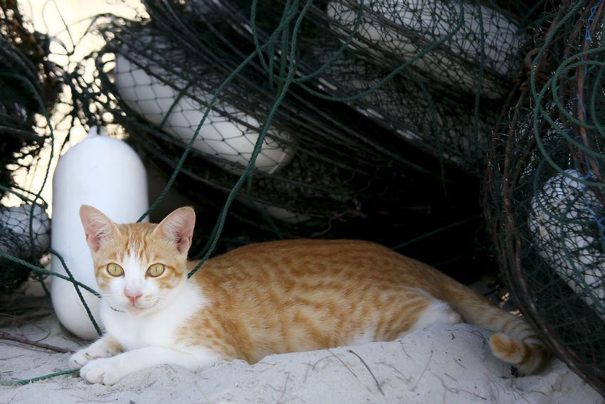 A cat resting on the sand beach behind the crab net (Bento) Animal Themes Cat Close-up Day Domestic Animals Domestic Cat Feline Looking At Camera Lying Down Mammal No People One Animal Outdoors Pets Portrait