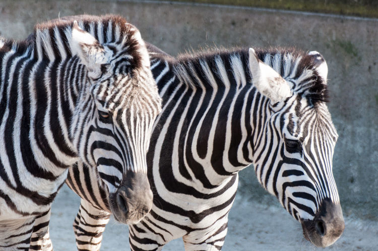Zebras at the Berlin Zoo Zebra Animal Markings Animal Themes Animal Wildlife Animals In The Wild Close-up Day Mammal Nature No People Outdoors Safari Animals Standing Striped Two Animals Young Animal Zebra Zebras