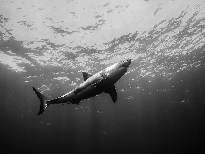 Great White Shark Swimming In Sea