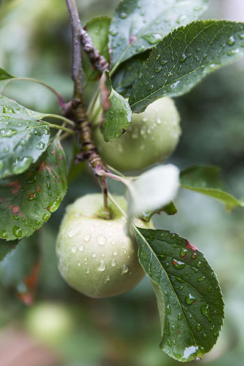 Beauty In Nature Close-up Day Drop Food Food And Drink Freshness Fruit Green Color Growth Leaf Nature No People Outdoors Plant Water