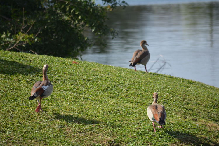 Trio of Egyptian Geese Egyptian Goose Florida Wildlife Florida Nature Trio EyeEm Selects Bird Animal Wildlife Animals In The Wild Outdoors Water Nature Animal Themes Goose Lake Grass Togetherness No People Geese Animal Family