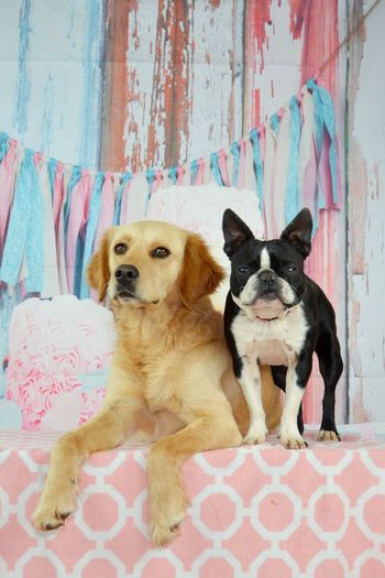 Max 2 ans 👍😍 Birthday Birthdaydog Dog Pets Animal Domestic Animals Looking At Camera Puppy Portrait Animal Themes Cute Sitting Pastel Colored Mammal Togetherness Indoors  No People Day Goldenretriever g Boston Terrier