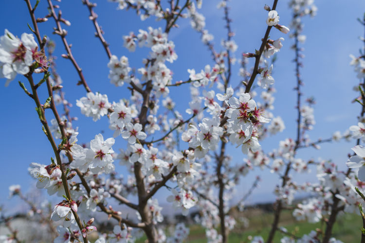 Plant Fragility Flowering Plant Flower Vulnerability  Growth Beauty In Nature Freshness Tree Branch Day Nature Close-up Blossom Springtime Cherry Blossom Sky Focus On Foreground No People White Color Cherry Tree Flower Head Pollen Outdoors Spring