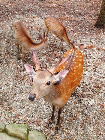 Nature On Your Doorstep Nara Deer Japan Animals Animal Portrait EyeEm Best Shots EyeEm Nature Lover EyeEm Best Edits