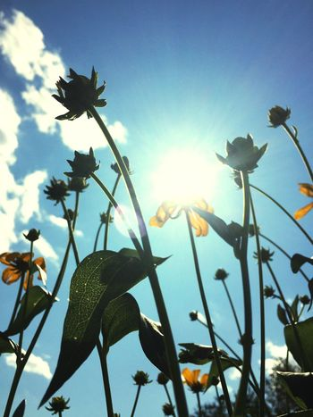Sunny coneflower Low Angle View Sunlight Growth Nature Flower Sun Plant No People Outdoors Leaf Silhouette Beauty In Nature Day Fragility Animal Themes Close-up Sky Freshness Flower Head EyeEmNewHere