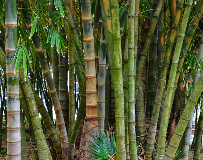 Bamboos growing in garden