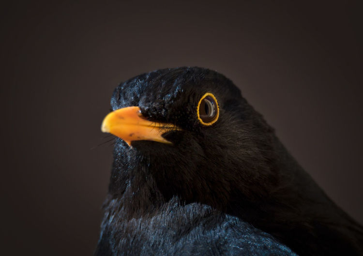 Close-up portrait of male blackbird