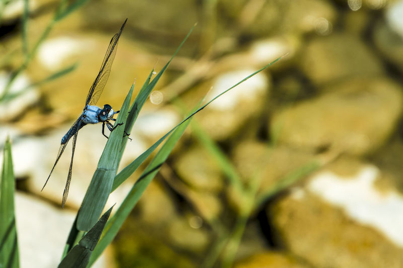 Close up of a blue dragonfly insect, near the river Invertebrate One Animal Animal Wildlife Animals In The Wild Animal Themes Insect Animal Close-up Plant Nature Focus On Foreground Day No People Selective Focus Growth Damselfly Green Color Animal Wing Outdoors Beauty In Nature Blade Of Grass