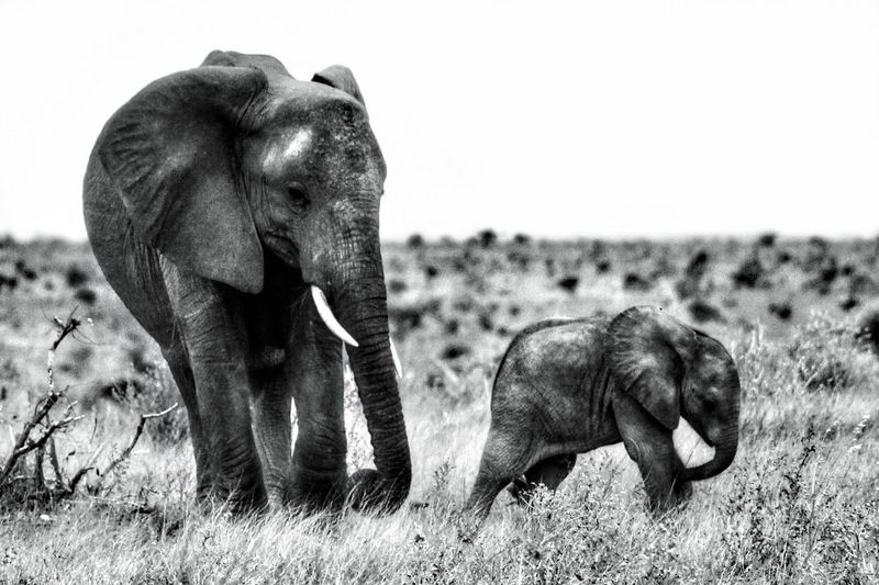 Elephant with calf on field