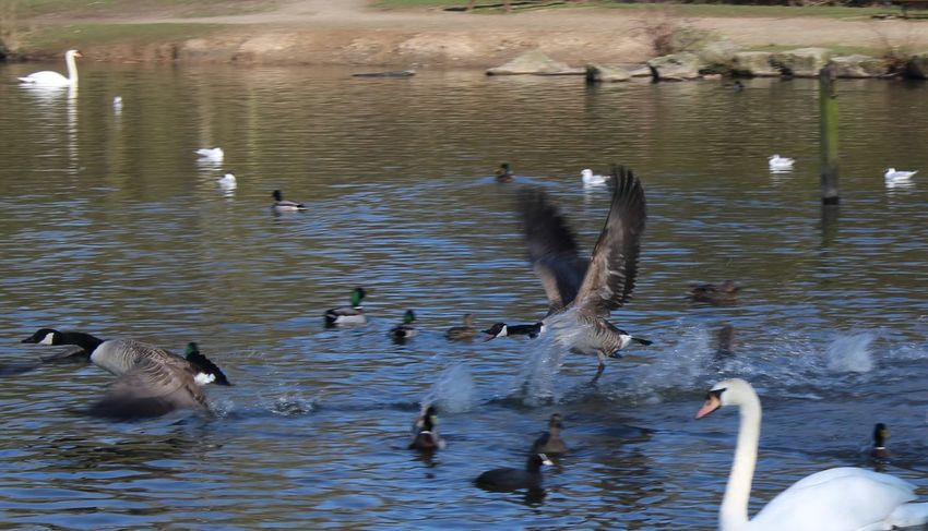 Animal Themes Animals In The Wild Bird Birds... Duck Ducks Flock Of Birds Flying Goose Lake Lake View Many. Medium Group Of Animals Pond Reflection Swan Swans Swimming Taking Off. Water Water Bird Waterbird. Wildlife Wings Wings Outstretched