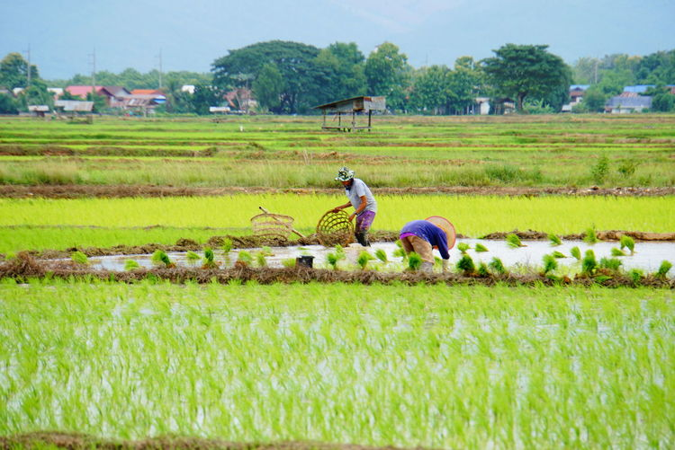 Female farmers working in rice paddy