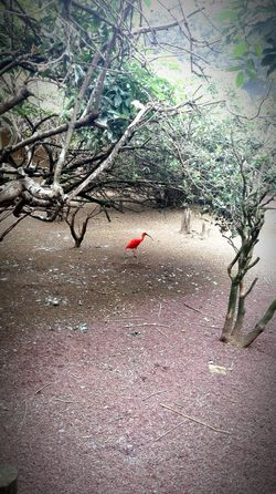 One Red Ibis in the Zoo Roma Italy Habitat Bird Photography Red In The Trees Tree Daylight Beauty In Nature Zoophotography Bright Colors No Filter Nature Colors
