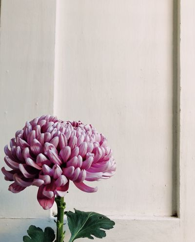 Chrysanthemum for Mother's Day Wall - Building Feature Beauty In Nature Pink Color Close-up Growth Petal No People Inflorescence Nature Flower Head Day Plant Part