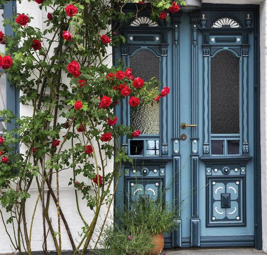 Alte Haustür mit Rosenstrauch #Arnis #heinothiede Nikon D90 Red Roses Rosenbusch Alte Haustür Blue Door No People Old Front Door Outdoors Rose Bush Closed Door Entrance