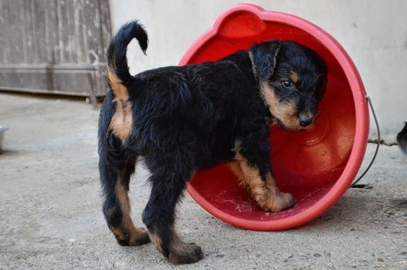 Airedale terrier puppy in bucket
