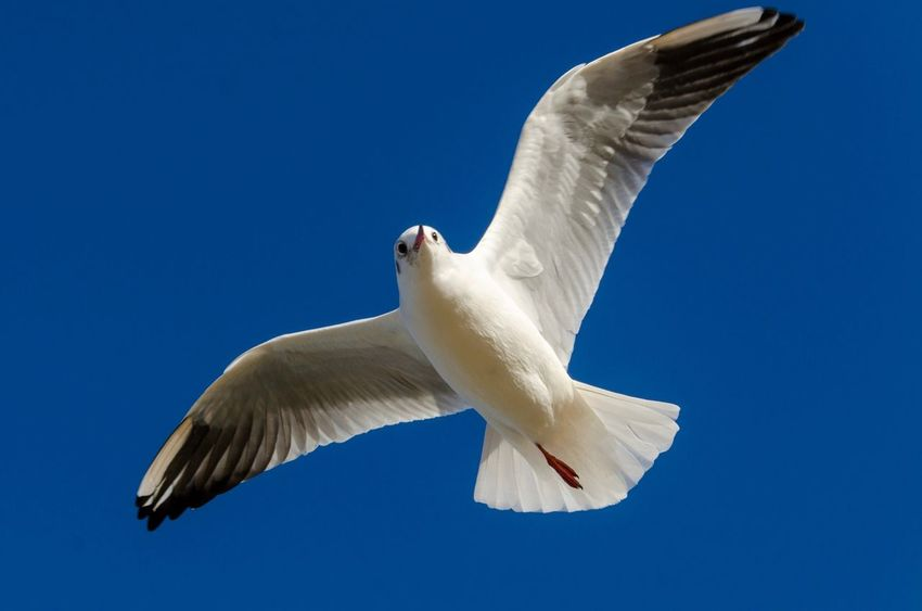 Seagull on Blue sky Seagulls Flying Over Me Seagulls In Flight Seagull EyeEm Selects Spread Wings Bird Flying Low Angle View White Color One Animal Clear Sky Sky Close-up Blue Animals In The Wild