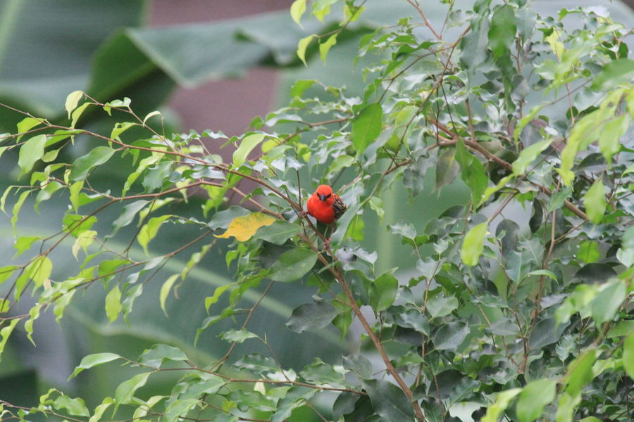 Animals In The Wild Bird Contrast Fragility Freshness Green Green Color Leaf Little Bird Little Red Bird One Animal Outdoors Plant Red And Green Red Bird