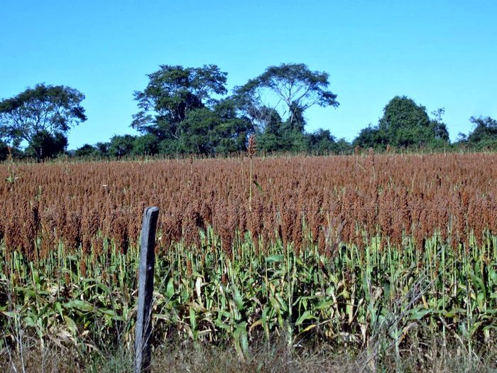Agriculture Beauty In Nature Day Farm Field Growth Landscape No People Outdoors Plant Rural Scene Scenics Sky Sorghum Sorghum Field Tranquil Scene Tranquility