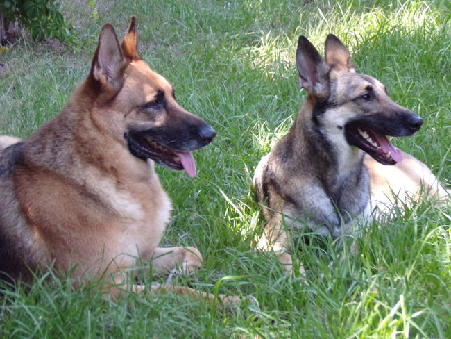 German Shepard and Malinois Dog enjoying their day together. #Troy And Venus #doglover #dogs Relaxing #fur Babies Animal Themes Day Dog Domestic Animals German Shepherd Nature No People Outdoors Pets