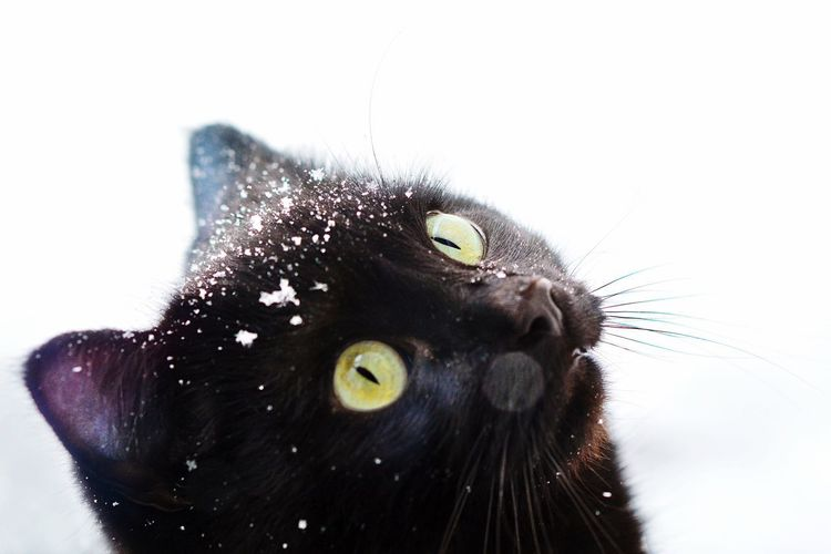 Animals In Winter Winter Snow ❄ One Animal Domestic Cat Black Color Pets Animal Themes Yellow Eyes Portrait No People White Background Looking At Camera Domestic Animals Feline Mammal Day Close-up