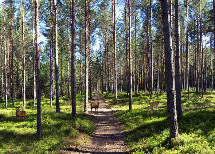 Deer in Pine Forest Footpath Forest Green Color Nature Outdoors Scenics Tranquility Tree Tree Trunk WoodLand