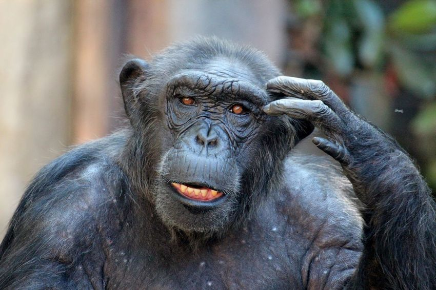 Thinking hard Animal Themes Animal Wildlife Ape Chimp Chimpanzee Close-up Confused Day Hand On Face Looking At Camera Looking At The Camera Mammal Nature No People One Animal Outdoors Portrait Primate Puzzled Scratching Scratching My Head Thinking What? Wildlife Zoo
