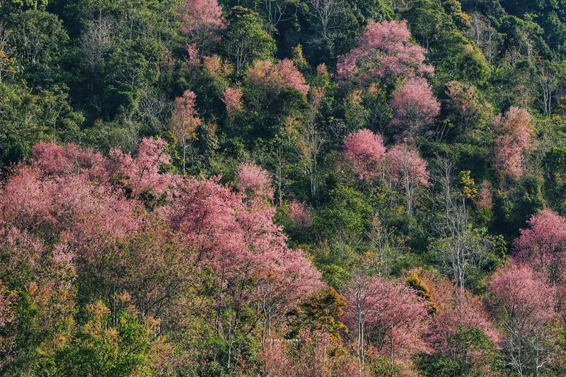 High angle view of pink flowering trees in forest