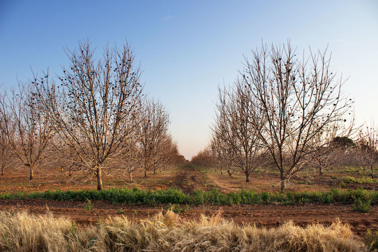 Orchard With Bare Trees Against Clear Sky