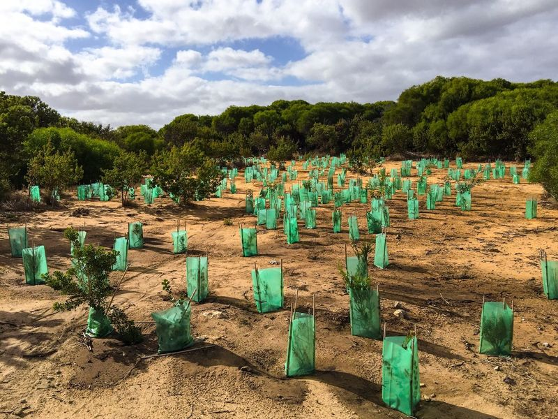 Replanting Replanting Bush Coastal Landscape Conservation Reserve Ecological Plants Replenishment Nature Outdoors Trees Sky Clouds And Sky Western Australia Flora Botanic Green Greenery Helping Environmental Conservation Environment