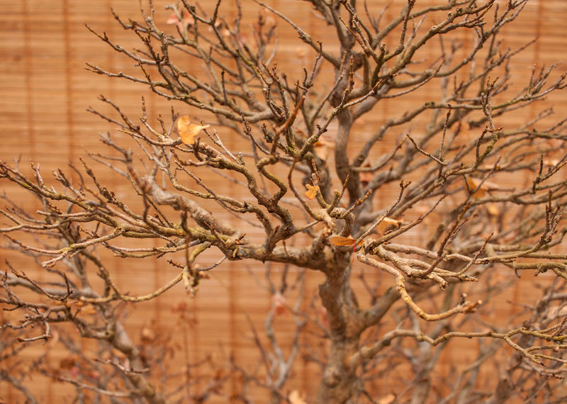 Bare Tree Beauty In Nature Bonsai Tree Branch Close-up Day Nature No People Plant Tree