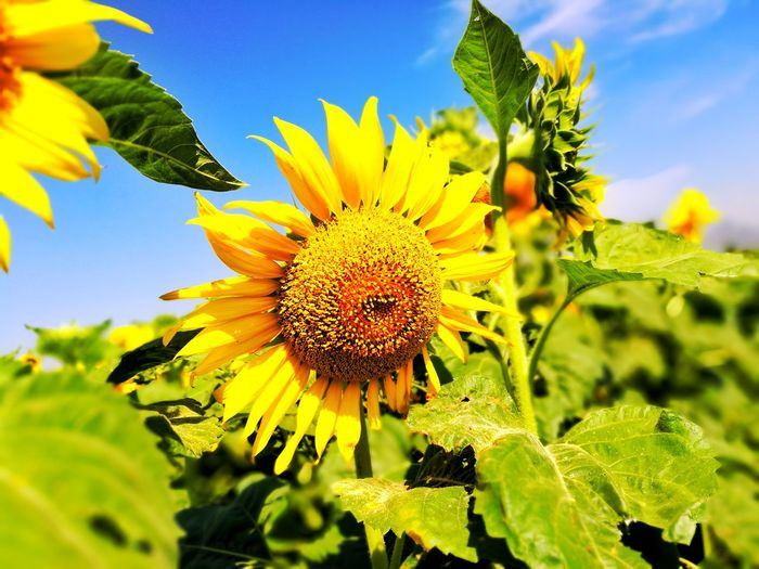 Sunflower Flower Nature Blue Beauty In Nature Yellow Growth Flower Head Plant Petal Close-up Sunflower Outdoors No People Leaf Sky Fragility Day Pollen Freshness