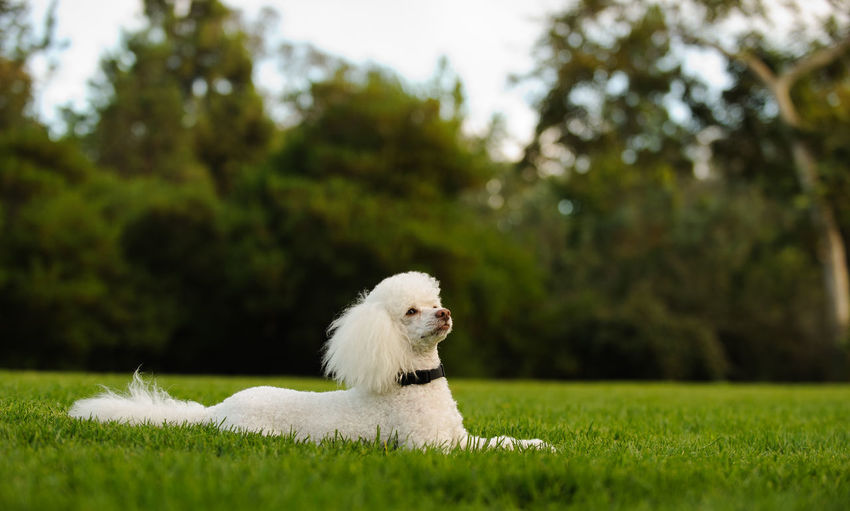 Grass Plant Poodle Clean Dog Mammal No People One Animal Outdoors Park Photography Portrait White Color