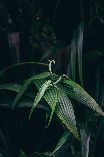 Plant of tahitian vanilla