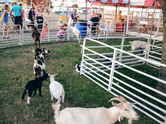 Nebraska State Fair - Grand Island, Nebraska August 2016 A Day In The Life Americans Balancing Elements Camera Work Carnival Color Photography Composition Cultures Domestic Animals EyeEm Gallery Fairground Flash Photography Fuji X100s Getty Images Goats Leading Lines Lifestyles Nebraska Outdoors Petting Zoo Photo Essay State Fair Storytelling Streetphotography Summertime